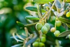 olive squalane